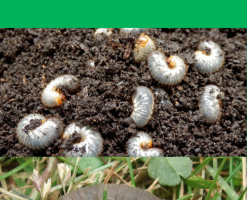 Chafer Grubs & Leatherjackets